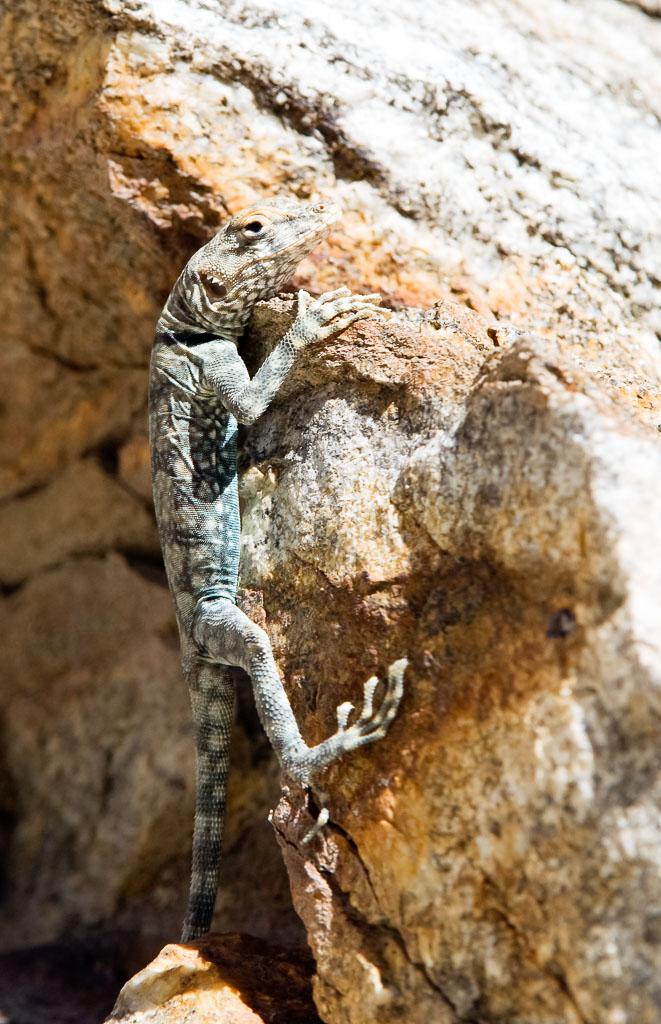 Banded Rock Lizard climbing