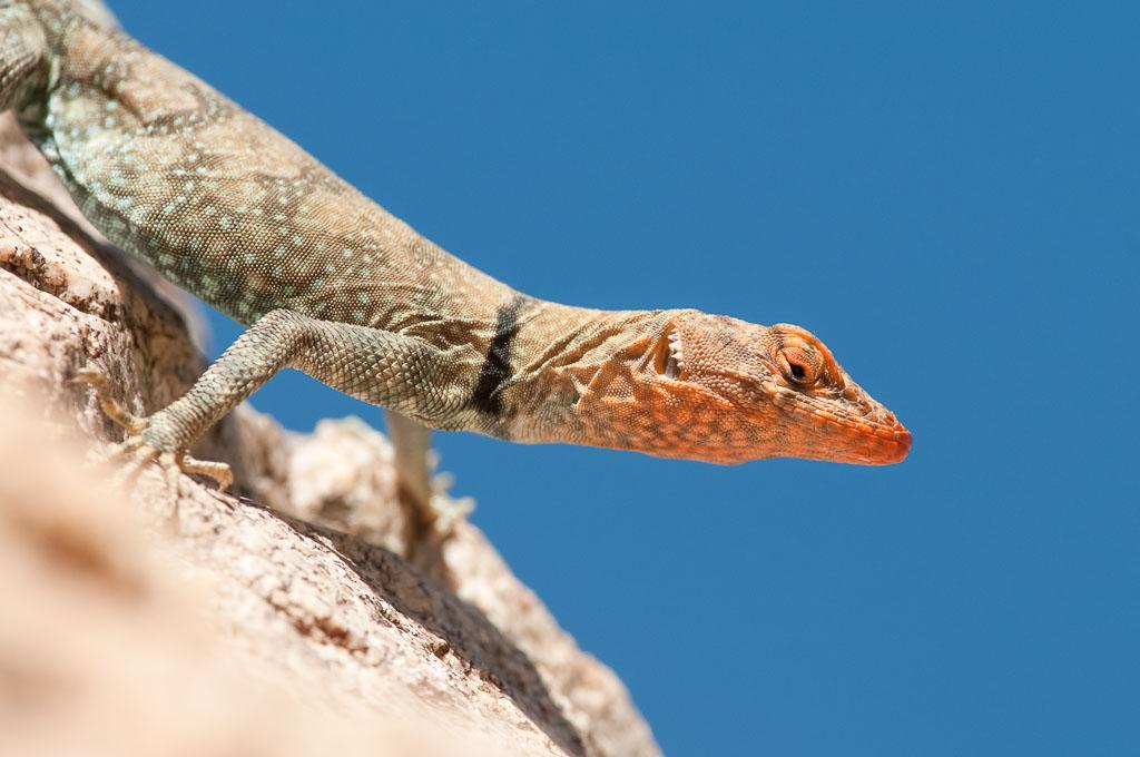 Banded Rock Lizard female gravid