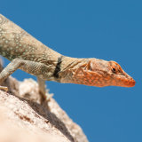 Banded Rock Lizard female gravid