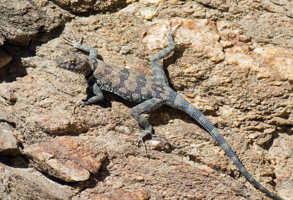 Banded Rock Lizard on-granite