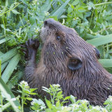 Beaver eating a snack