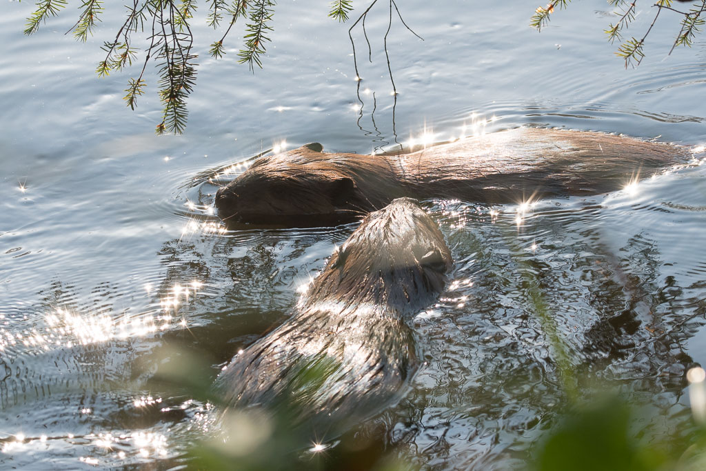 Beavers swirling around in mornig sun