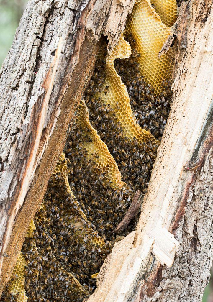 Bee colony in broken pepper tree