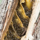 Bee colony in broken pepper tree
