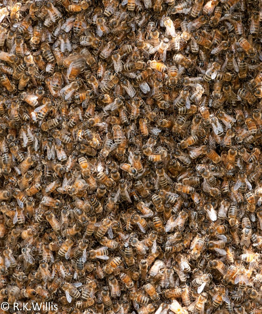 Bee swarm close-up