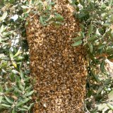 Bee swarm in tree