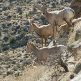 Bighorn Sheep 3 in mountain