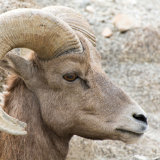 Bighorn Sheep close-up