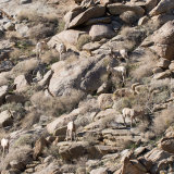 Bighorn Sheep flock