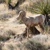 Bighorn Sheep in wash-2