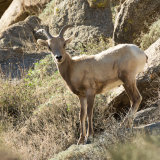 Bighorn Sheep on rocks-2