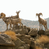 Bighorn Sheep top of mountain