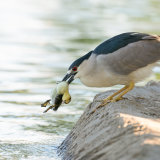 Black-crowned Night Heron with dead chick-2