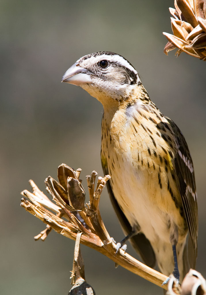 Black-headed Grosbeak female on agave