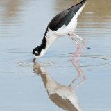 Black-necked Stilt feeding