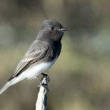 Black Phoebe on favorite perch