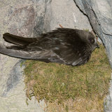 Black Swift on nest