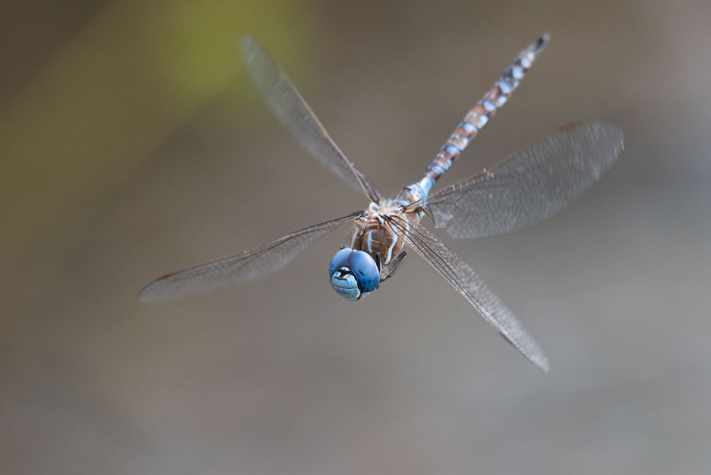 Blue-eyed Darner in flight