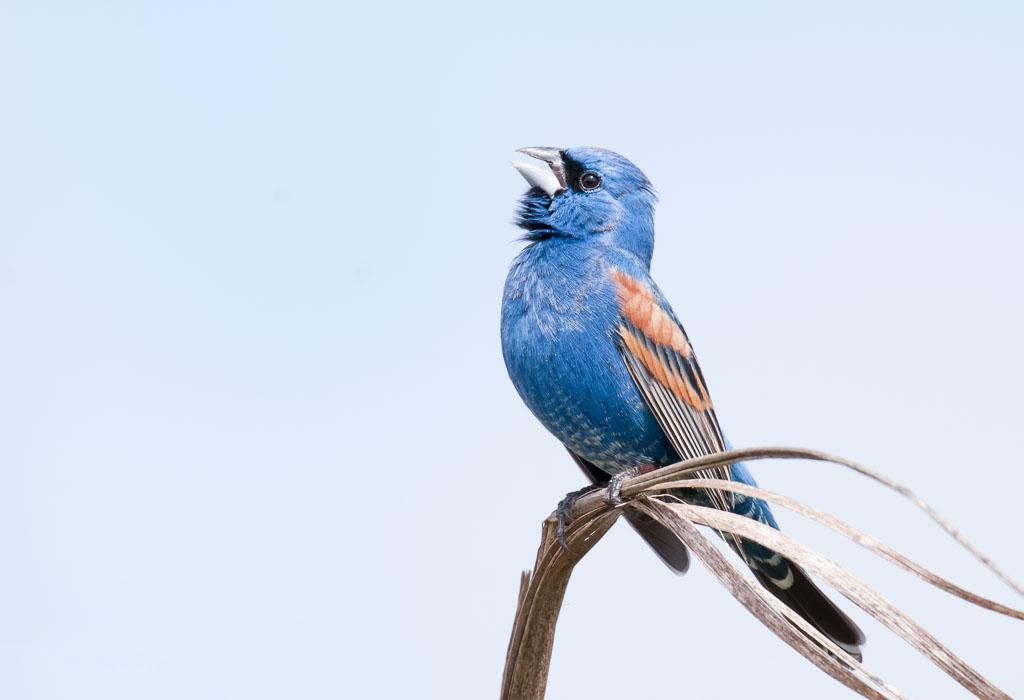 Blue Grosbeak male calling
