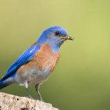 Bluebird male on stump