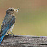 Bluebird with grasshopper