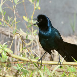 Boat-tailed Grackle calling