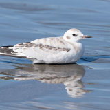 Bonaparte's Gull reflection