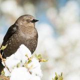 Brewer's Blackbird in snow