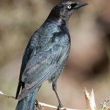 Brewer's Blackbird showing oily sheen