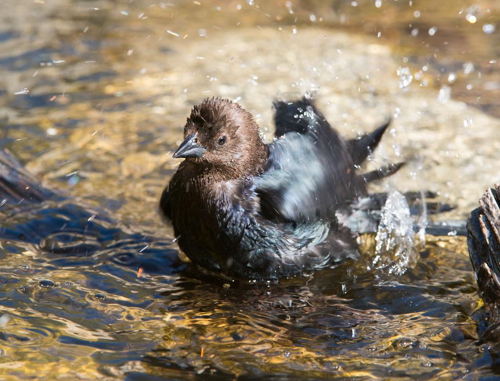 Brown-headed Cowbird in water
