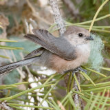 Bushtit with synthetic nesting material