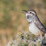 Cactus Wren calling from Cholla 2