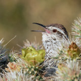 Cactus Wren calling from Cholla