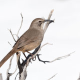 Califorinia Thrasher snowy background-2