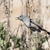 California Gnatcatcher female-2