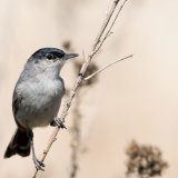 California Gnatcatcher male-2