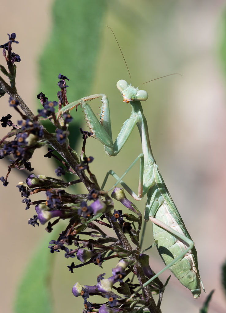 California Mantid Praying Mantis