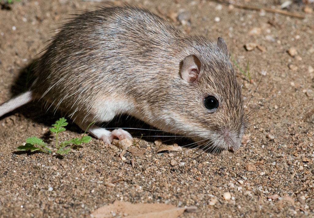California Pocket Mouse