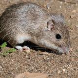 California Pocket Mouse