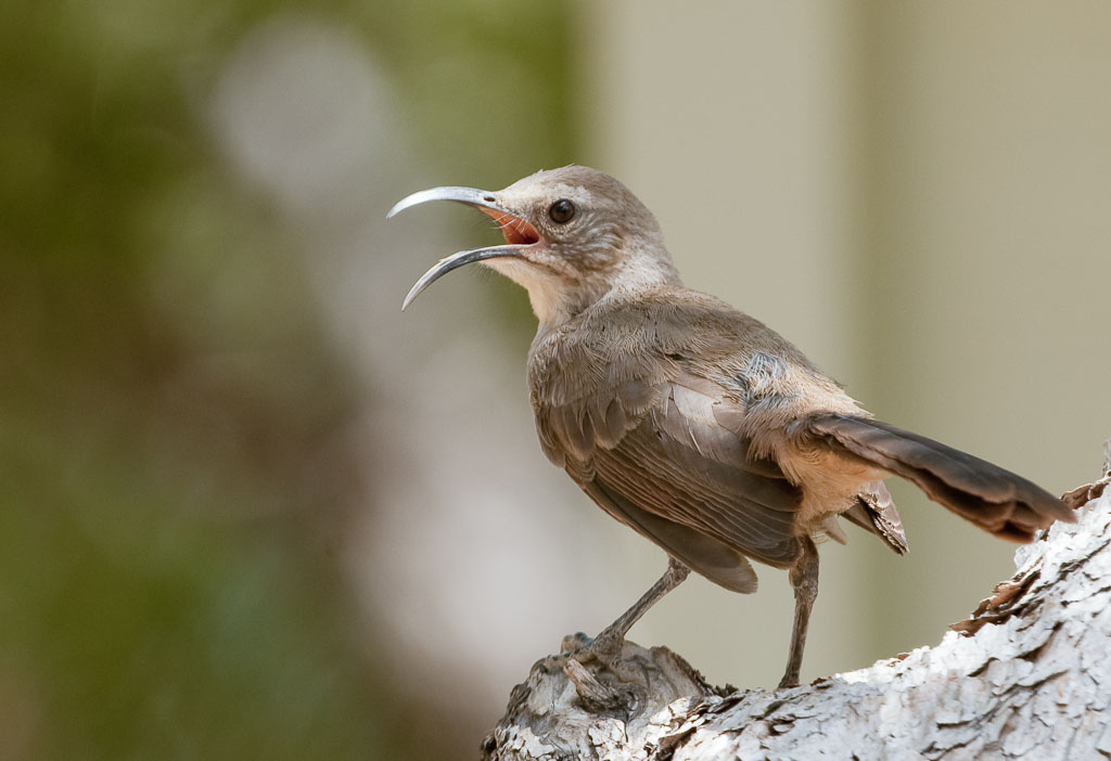 California Thrasher singing