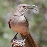California Thrasher singing (2)