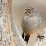 California Towhee in vee of tree