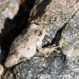 California Treefrog-2