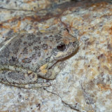 California Treefrog on granite