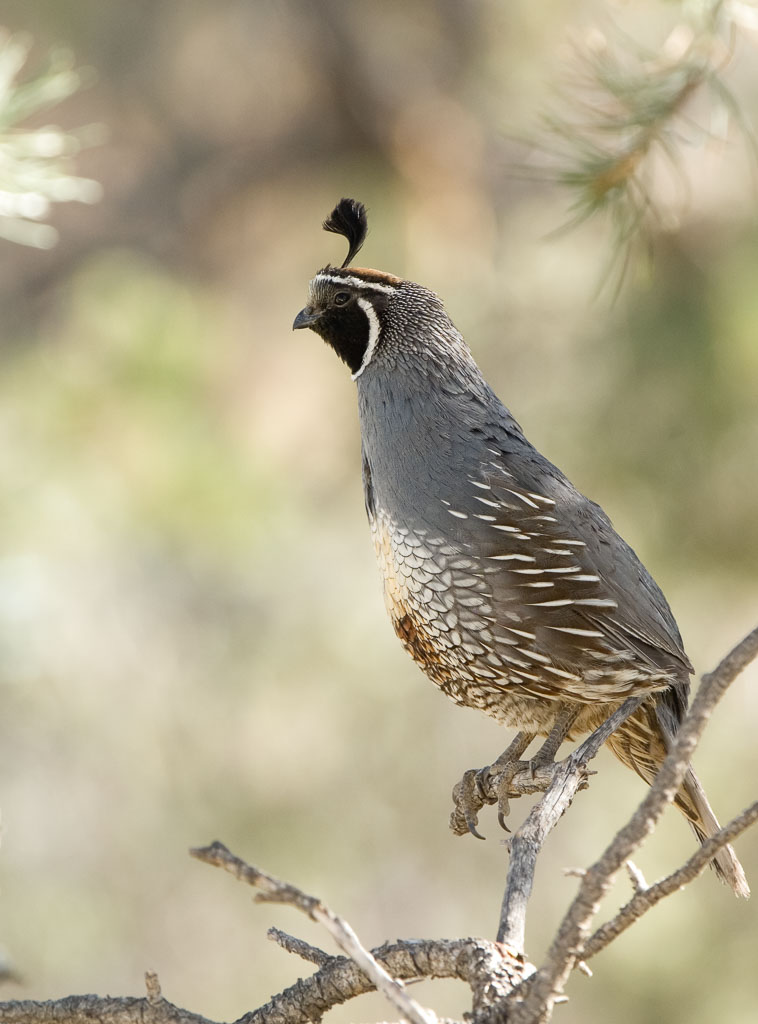 Californian Quail in pinyon tree