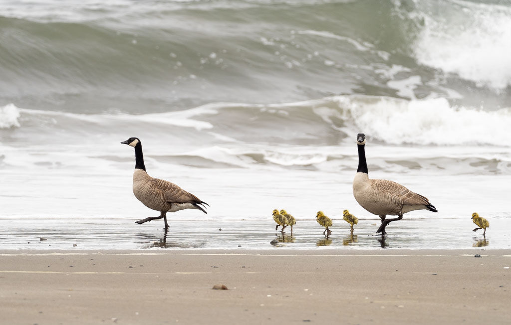 Canada Goose-with chicks