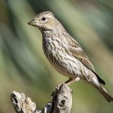 Cassin's Finch female