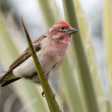 Cassin's Finch male on yucca