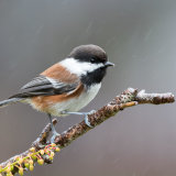 Chestnut-backed Chickadee in rain-2