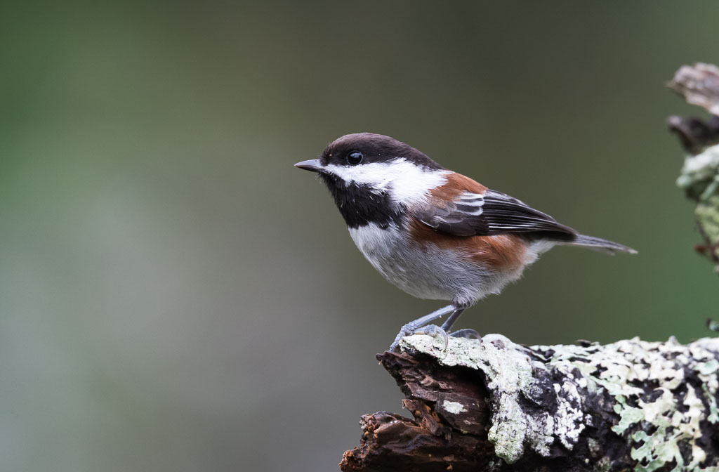 Chestnut-backed Chickadee on lichen